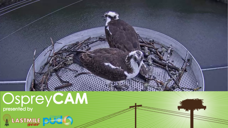 Osprey Cam Presented by Last Mile Gear and Cowlitz PUD, with nest and two Ospreys