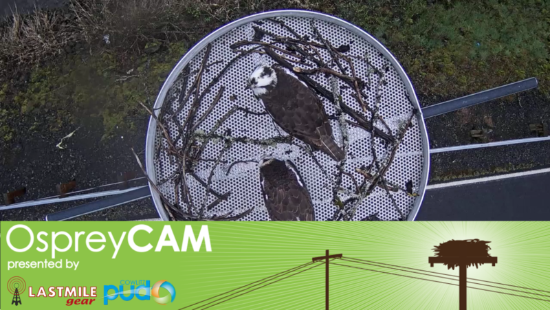 OspreyCam Presented by Last Mile Gear and Cowlitz PUD, with nest and two Ospreys